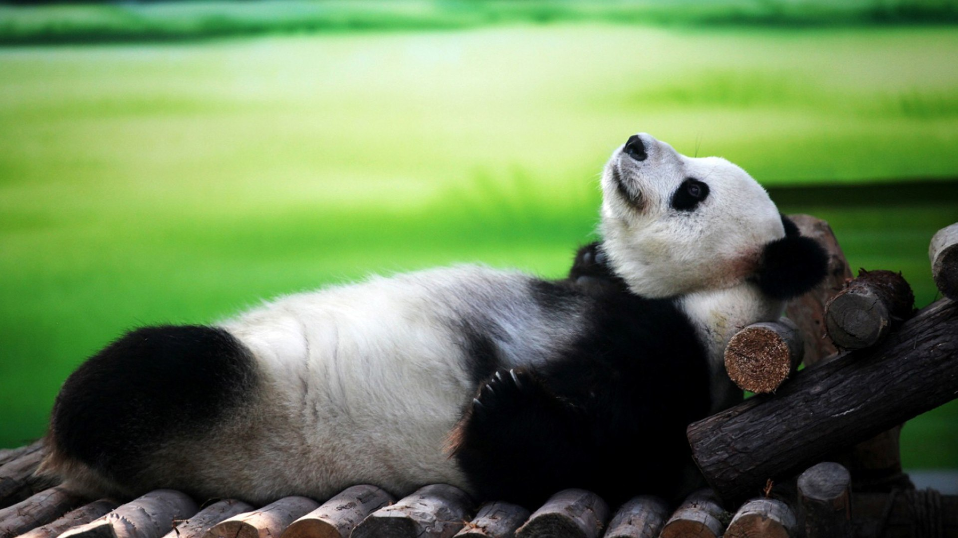Animals___Bears_Panda_lying_on_his_back_096730_